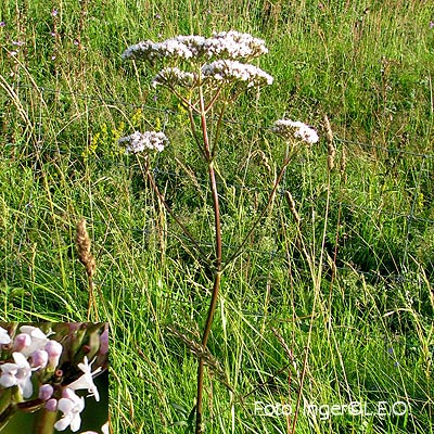 Valeriana procurrens