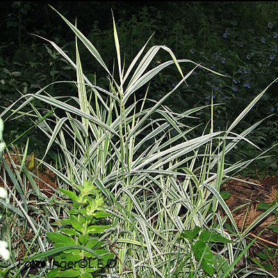 Phalaris picta